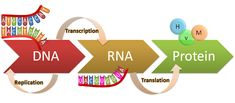DNA and Protein Synthesis Cell Biology, Molecular Biology, Science Biology, Teaching Biology, Dna Transcription, Transcription And Translation, Central Dogma, Dna Facts, Science Notes