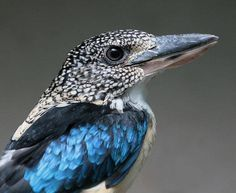 Cucaburra Escamosa, Dacelo tyro,  habita en Nueva Guinea y las islas Aru.