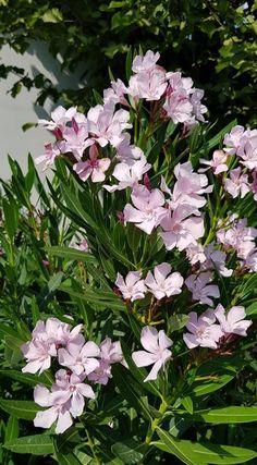 Leander őszi metszése – bevált praktikák – Balkonada Fall Decor, Gardens, Beautiful Roses, Cement, Charms, Harvest, Flowers, Plant, Outdoor Gardens