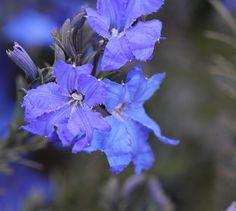 Australian Native flower..Lechenaultia. Australian Native Garden, Australian Native Flowers, Exotic Flowers, Wild Flowers, Beautiful Flowers, Flowers Perennials, Planting Flowers, Slime Mould, Color Lila