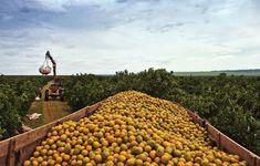 Transporte da laranja da zona rural até a indústria.