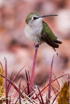 Female Black-chinned Hummingbird Henderson, Nevada