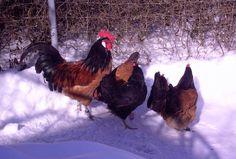 Der Winter - Hühner im Schnee