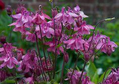 A legnépszerűbb kerti virágok, amelyek hosszú időn át virágzanak, így egész nyáron gyönyörködhetünk bennük! - Bidista.com - A TippLista! Gardening Tips, Planting Flowers, Purple, Plants, Happy, Decor, Orchids Garden, Gardens, Flowers