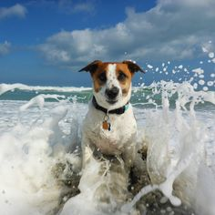 Meet Stink - This Treasure Coast terrier knows how to make waves. Hutchinson Island, a sleepy barrier island off the Atlantic coast of Florida, USA.  Coastal Living