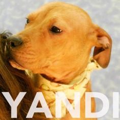 Yandi is a snuggly 6 month old female terrier/pit bull mix. Meet her at RAS at 184 Verona St.