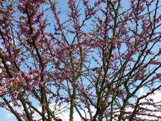 Judas tree blossum
