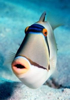 "Arabian Triggerfish  See Over 2000 more animal pictures on my Facebook ""Animals Are Awesome"" page. animals wildlife pictures nature fish birds photography"