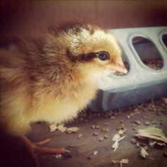 Baby Welsummer chick, Henrietta