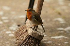 "pagewoman: "" Little Helper "" Beautiful Robin Robin Redbreast, Love The Earth, Robin Bird, English Countryside, Disney Films, Little Birds, Beautiful Birds, The Little Mermaid, Beauty And The Beast"