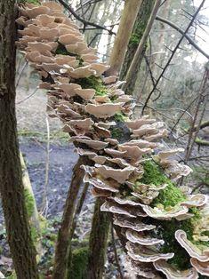 Amazing flush of trimetres versicolor (turkey tail) Growing Mushrooms, Wild Mushrooms, Stuffed Mushrooms, Turkey Tail Mushroom, Mushroom Fungi, Plant Fungus, Paludarium, Arte Floral, Environment Design