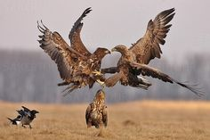 Birds of prey, what an awesome shot! Birds Of Prey, Animals And Pets, Cute Animals, Eagle Pictures, Wild Creatures, Big Bird, Funny Animal Memes, Fauna, Wild Birds