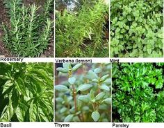 Growing Herbs at Home. Growth characteristics of common herbs, harvesting, propagating, descriptions, etc.