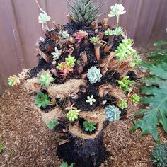 Dead fern tree repurposed into a succulent tree. Reuse that dead stump in your garden and make a succulent tree. They are low maintence and look great. Plastic Pumpkins, Glass Pumpkins, Colorful Succulents, Succulents Diy, Succulent Tree, Succulent Planters, Outdoor Planters, Barn Board Projects, Blue Jeans