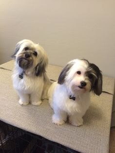 Bailey and Sadie Havanese Puppies, Yorkie, Dogs And Puppies, Pet Quotes, Animal Quotes, I Love Dogs, Cute Dogs, Havanese Haircuts, Lhasa Apso