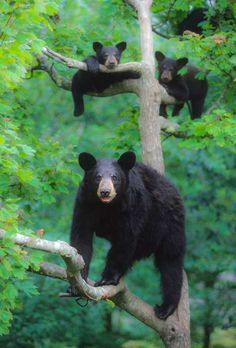Black Bear Family | American Black Bears are only found in North America. With a est. population of 600,000, they are the smallest of the three North American species. Short non retractable claws make them excellent tree climbers.