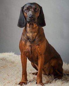 Pet Dogs, Dogs And Puppies, Pets, Doggies, Basset Hound, Beagle, Basset Artesien Normand, Griffon Nivernais, Grand Basset Griffon Vendeen