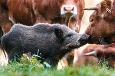 Wild boar adopted by cows