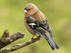 Competition for nesting sites could explain why some birds and bumblebees are declining faster than others. Birds And The Bees, Birds Of Prey, Pretty Birds, Beautiful Birds, Like Animals, Animals And Pets, Fat Bird, Parus Major, Chaffinch