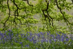 Wakehurst – walking on a bluebell planet Walk On, Wildflowers, Horticulture, Planting, Nest, Planets, Herbs, Landscape, Pictures
