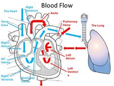 example image: blood flow through the heart | anatomy & biology, Muscles