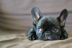 black French Bulldog pup, I need him!!