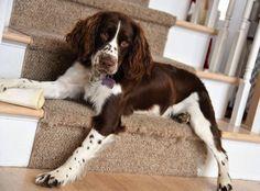 English Springer Spaniel ~ Classic Look Springer Spaniel Puppies, English Springer Spaniel, Spaniel Dog, Spaniels, Cute Puppies, Dogs And Puppies, Cute Dogs, Corgi Puppies, Cockerspaniel