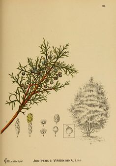Old Botanical Drawing (Juniper)