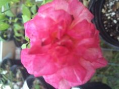 """Laujauzan Tea Found by John Hook in 2007.  HMF writes, """"Rose-pink, cream center. Flowers solitary and often having a metallic appearance. Branches red, Prickles occasional, red and slightly hooked."""""""