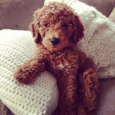 Golden doodle-nice and curly. I want one of these in the future :D