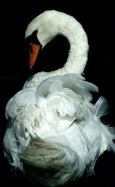 Shake your tail feathers. ~ETS #swan