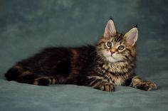Maine coon cat Photos