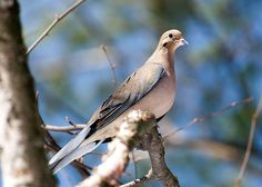 Mourning Dove; these are my morning alarm clock; waiting to be fed