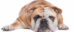 This is a guide about diet and exercise tips for an overweight dog. Being overweight is just as unhealthy for your pet as it is for you. Excess weight can contribute to disease and reduce your dog's activity level. Top Dog Breeds, Best Dog Breeds, Best Dogs, Dog Hot Spots, Overweight Dog, Dog Weight, Weight Loss, Cool Dog Beds, Dog Activities