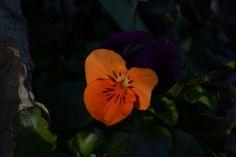 Orvokkini tummasilmä… no ainakin orvokki :) | Vesan viherpiperryskuvat – puutarha kukkii