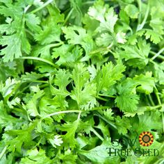 Cilantro - That delicious, distinctive, and irreplaceable herb. Fresh leaves best harvested before flowering. Leaves are cilantro, seeds are coriander. Suitable for growing in containers. Easy-to-grow. Direct seed in spring or late summer. Moderately frost-tolerant. Full sun. Annual.