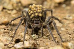 Finding a friend again: the giant alpine spider Vesubia jugorum