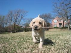 Yes, I fetched the stick you threw. Relax I'm returning it. Cute Labrador puppy.