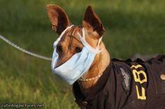 FBI dog taking flu precautions!
