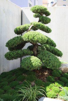 Niwaki - Juniperus Chinensis