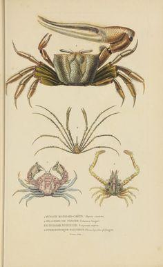 Atlas - Dictionnaire classique des sciences naturelles : - Biodiversity Heritage Library - crabs