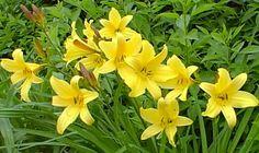 Hemerocallis citrina (Daglelie) bloeit in juni en juli en geurt bovendien. Hoogte tot 100cm. AGM.
