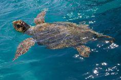 Loggerhead Turtle Status: Threatened - Distribution: Texas to Maine - Primary Prey: Crustaceans and mollusks