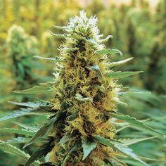 #大麻 #医療大麻 #麻 #ヘンプ #カンナビス #マリファナ #ガンジャ #hemp #cannabis #marijuana #kush #cannabist #ganja #thc #weed #ReLegalize #CBD