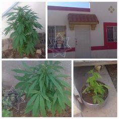 Dice CES localizar plantío de marihuana en una casa en la colonia Praderas, tras denuncia anónima | El Puntero