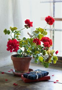 Architecture Beautiful capture by photographer Christine Bauer. Geraniums are such an earthy pleasure. MoreBeautiful capture by photographer Christine Bauer. Geraniums are such an earthy pleasure. Love Flowers, Beautiful Flowers, Red Geraniums, Red Cottage, Cottage Style, Wabi Sabi, My Favorite Color, Houseplants, Container Gardening