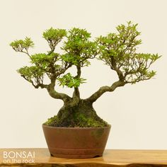 皐月の小品盆栽 Satsuki azalea shohin-bonsai 2015.8.30 撮影 bonsai on the rock @BASE bonsai on the rock @Zazzle