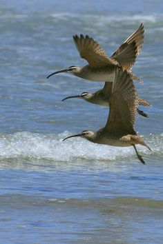 Whimbrel (Numenius phaeopus) is a wader in the large family Scolopacidae. It is one of the most widespread of the curlews, breeding across much of subarctic North America, Europe and Asia as far south as Scotland.