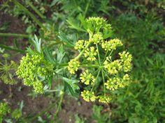 Frenk maydanozu nedir? Halk arasında kara hardal olarak bilinir. Bitki yaz aylarında toplanır ve kurutulur. Yemeklerde ve salatalarda kullanılır. Boyu yaklaşık olarak 1 metreye kadar..