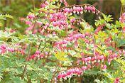 Dicentra spectabilis 'Bleeding Heart' Flower Garden-Front Yard